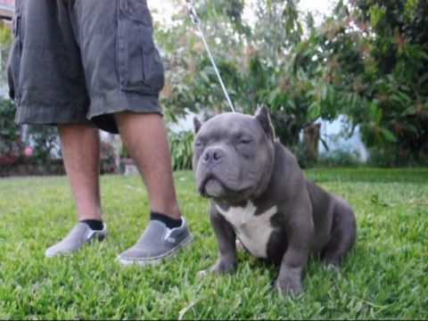 hqdefault jpgKarate Kid American Bully