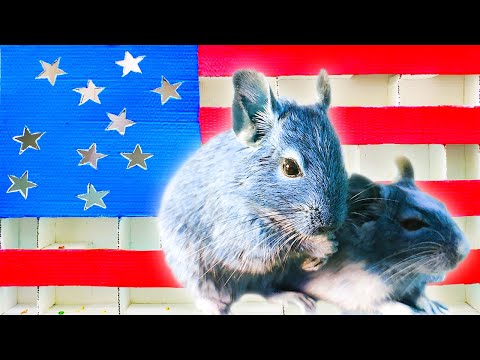 My funny pet in the maze of the flag. Obstacle Course for brave degu.