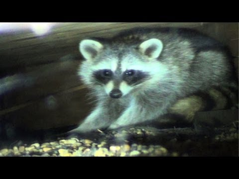 Raccoons Sent Packing from their Parking Space Playground