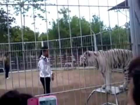 Training White Tiger at Chiangmai Night Safari Thailand