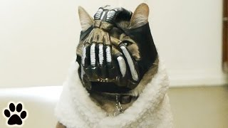 Bane Cat: Now's Not the Time for Fear, That Comes Later