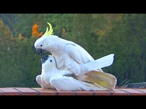 Sweet & Funny Cockatoo Love