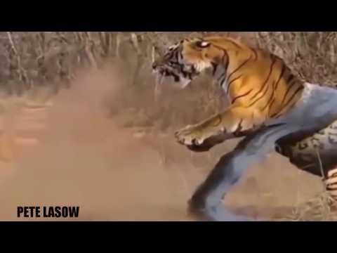 Anaconda gigante vs León vs Tiger vs Python - Wild Animal ataca # 27 | SAnimales asustadizos