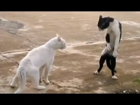 Funny Cats - Compilation, Compilation of the funniest cat moments caught on tape!