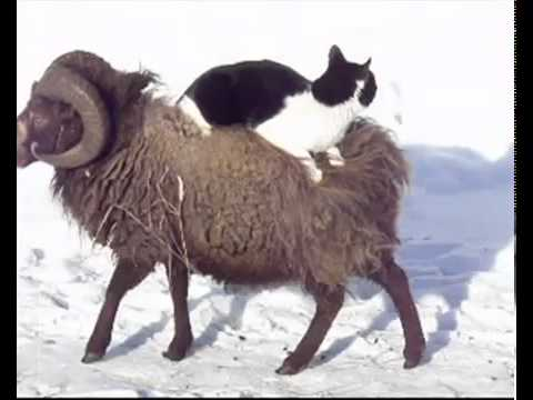 صداقة غريبة بين قط وخروف