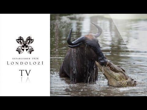 Crocodile vs Wildebeest vs Leopard - Londolozi TV