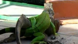 Iguana Apareandose (Spike)