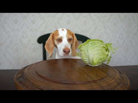 Maymo Vs. A Spinning Cabbage