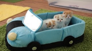 4-Week-Old Kittens Going on a Car Ride