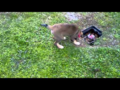 Mixed Shepherd Boxer puppies 10 weeks old play wrestling (1/2)