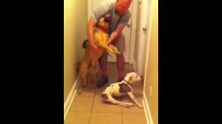 Airman comes home to handicapped dog from 6 month deployment!