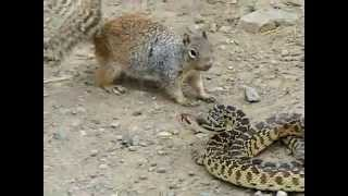 Sincap ile Yılanın kavgası