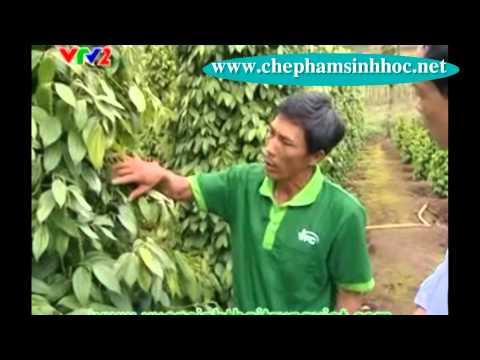Chế phẩm sinh học Vườn Sinh Thái cho cây tiêu tại tỉnh Gia Lai  trên kênh VTV2