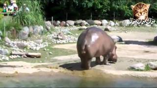 Super pedo de hipopótamo