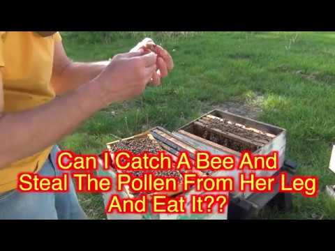 Beekeeping : Can I Remove Pollen From A Bee's Leg Without Getting Stung???