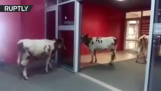 زبائن مركز تجاري يرتبكون عند رؤية أبقار فيه   |   قنوات أخرى