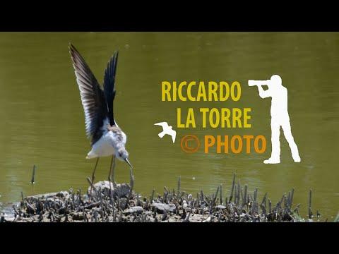 Cavaliere d'Italia - Himantopus himantopus