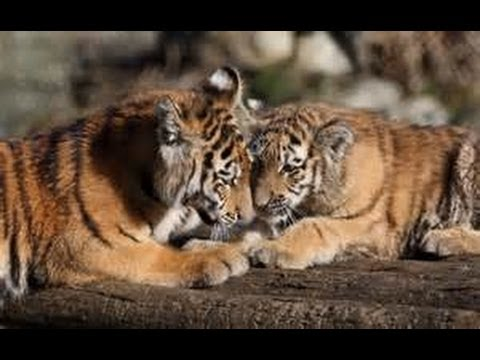 Sumatran Tiger Cubs Playing Around