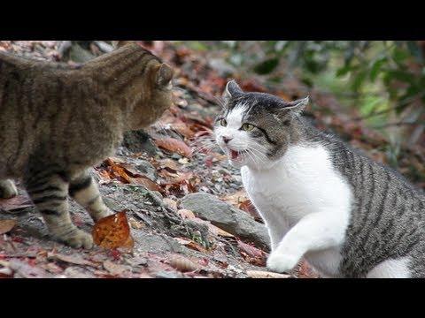 Cat Fight - HD 1080p