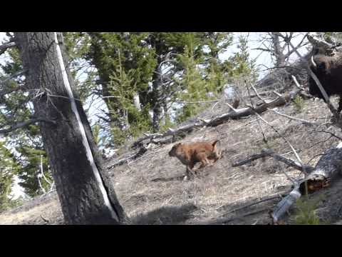 Running Bison in Yellowstone