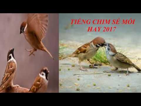 Tiếng chim mồi - Tiếng chim sẻ mồi cực hay \