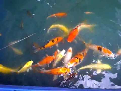 Koi fish cheap for sale youtube for Cheap koi fish