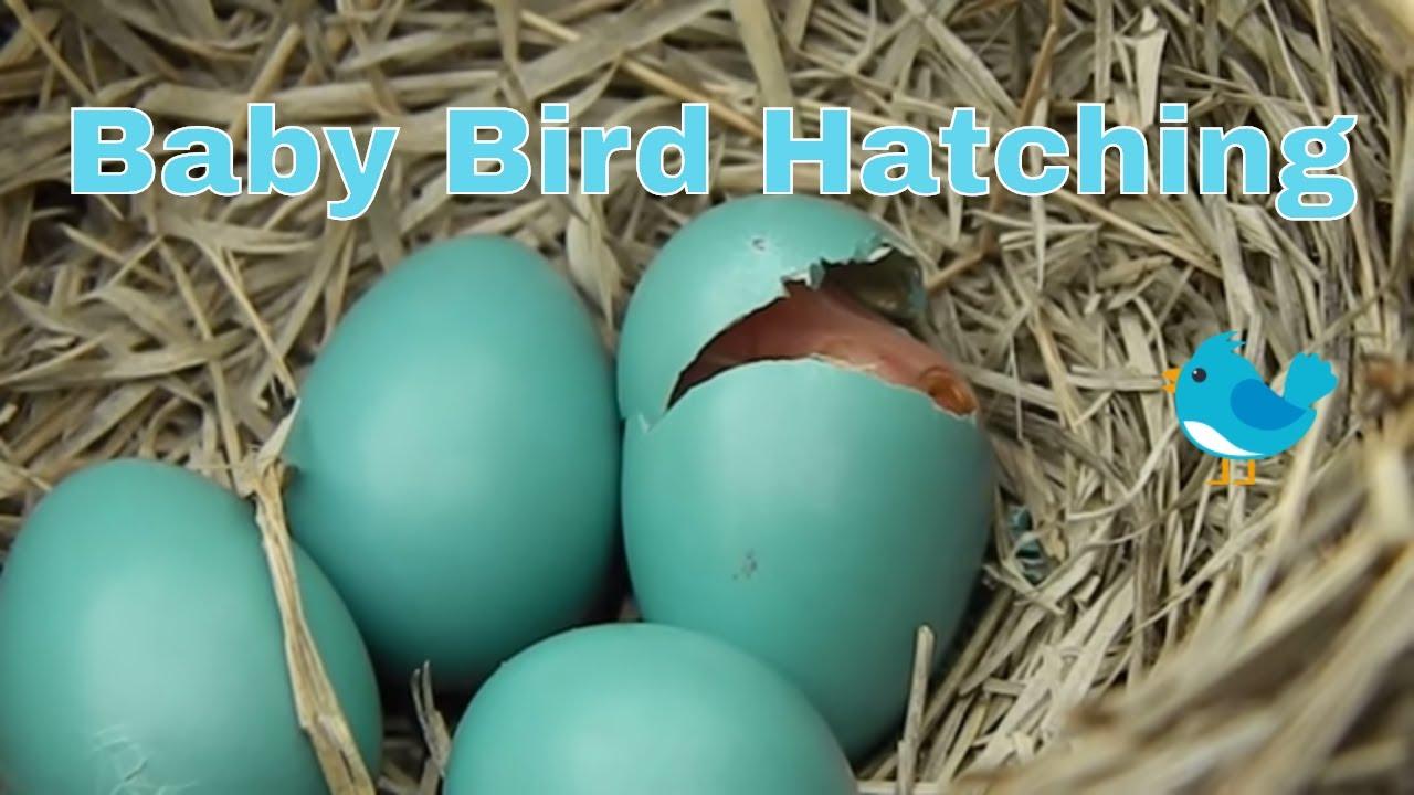 Baby Bird Hatching Youtube