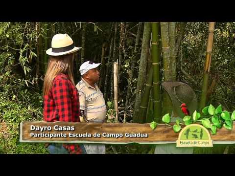 La guadua, el acero vegetal en Escuela de Campo