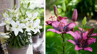 How To Plant Asiatic Lilies: Jeff Turner Plants Short