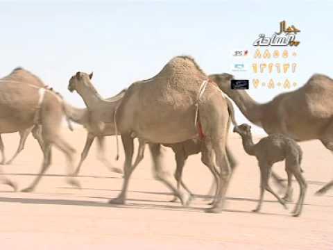 منقية الشيخ /جفران بن فلاح آل جفران
