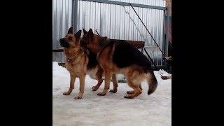 Видео - Немецкая овчарка вязка(German Shepherd)
