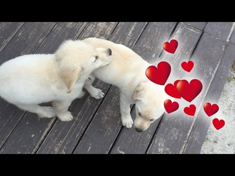 Super Cooper Sunday #3 - Coop Has a Girlfriend! (Golden Retriever Puppy)