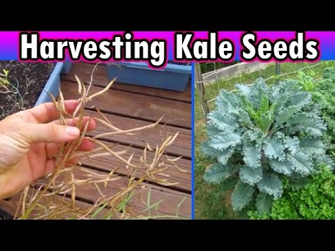 Harvesting KALE SEEDS Garden Survivalist Stockpile prepper disaster preparedness