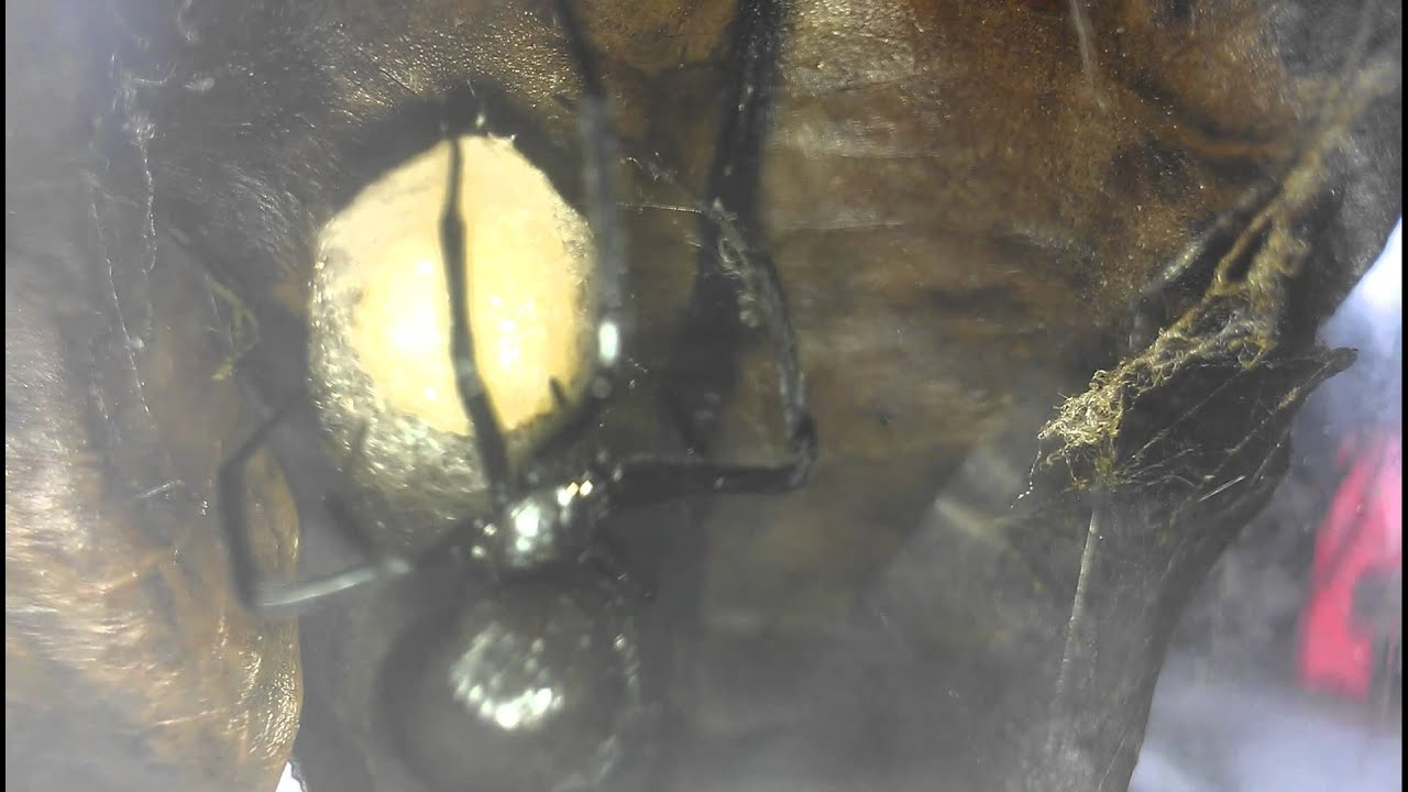 Black widow spider eggs - photo#26