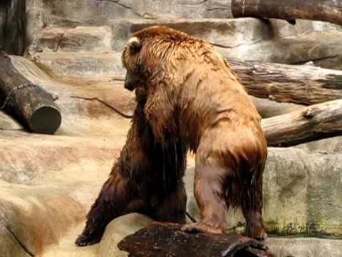 Grizzly Bear vs. Coastal Brown Bear - part 3 - YouTube