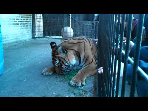 Tara the tiger eating and getting petted