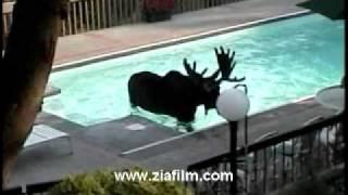 El alce en la piscina