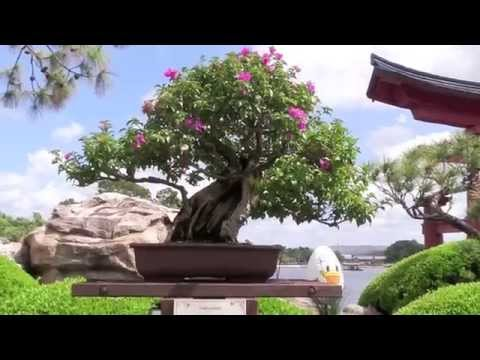 Epcot Bonsai Display - Flower and Garden Festival 2014