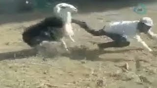 Cabra golpea a su dueño por la espalda
