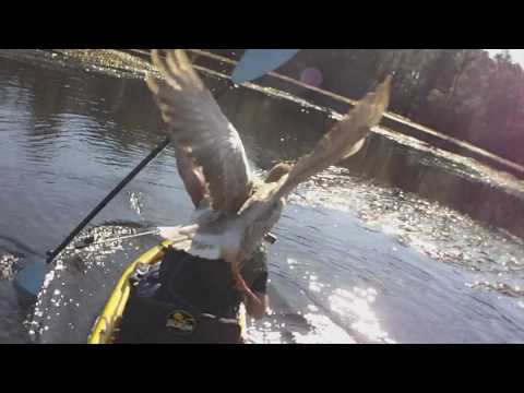 Goose Attacks Pro Kayak Angler Drew Gregory
