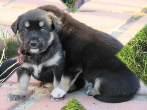 Siberian Husky Rottweiler Mix PuppiesSiberian Husky Rottweiler Mix