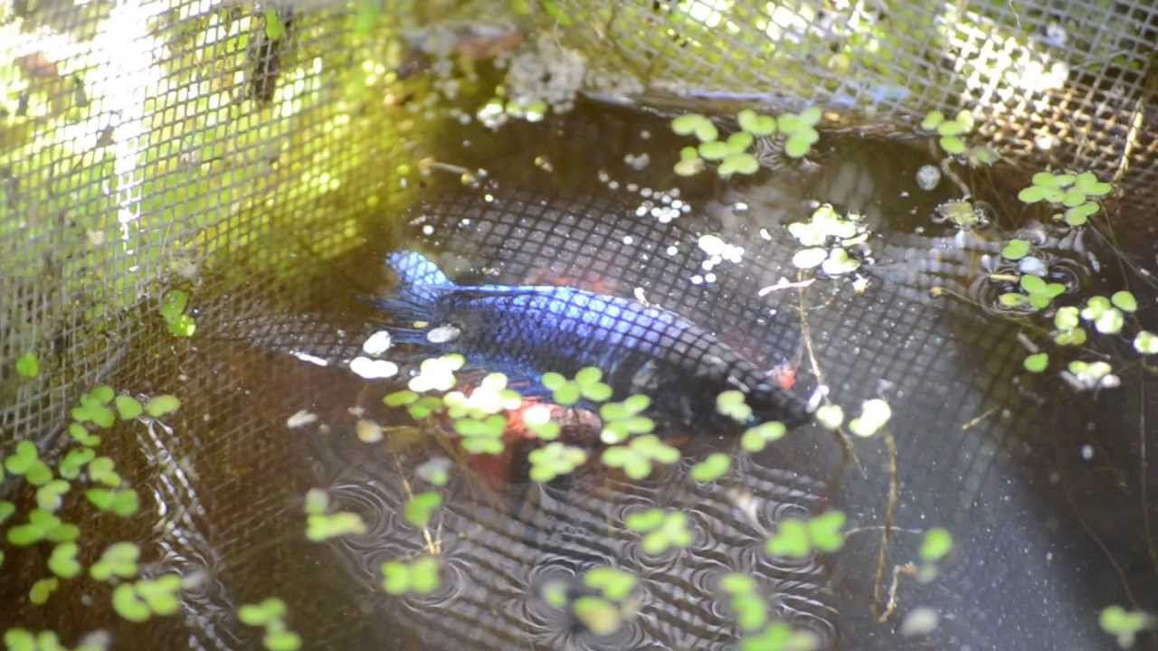 Pet store veiltail betta fish spawning in the wild for Wild betta fish