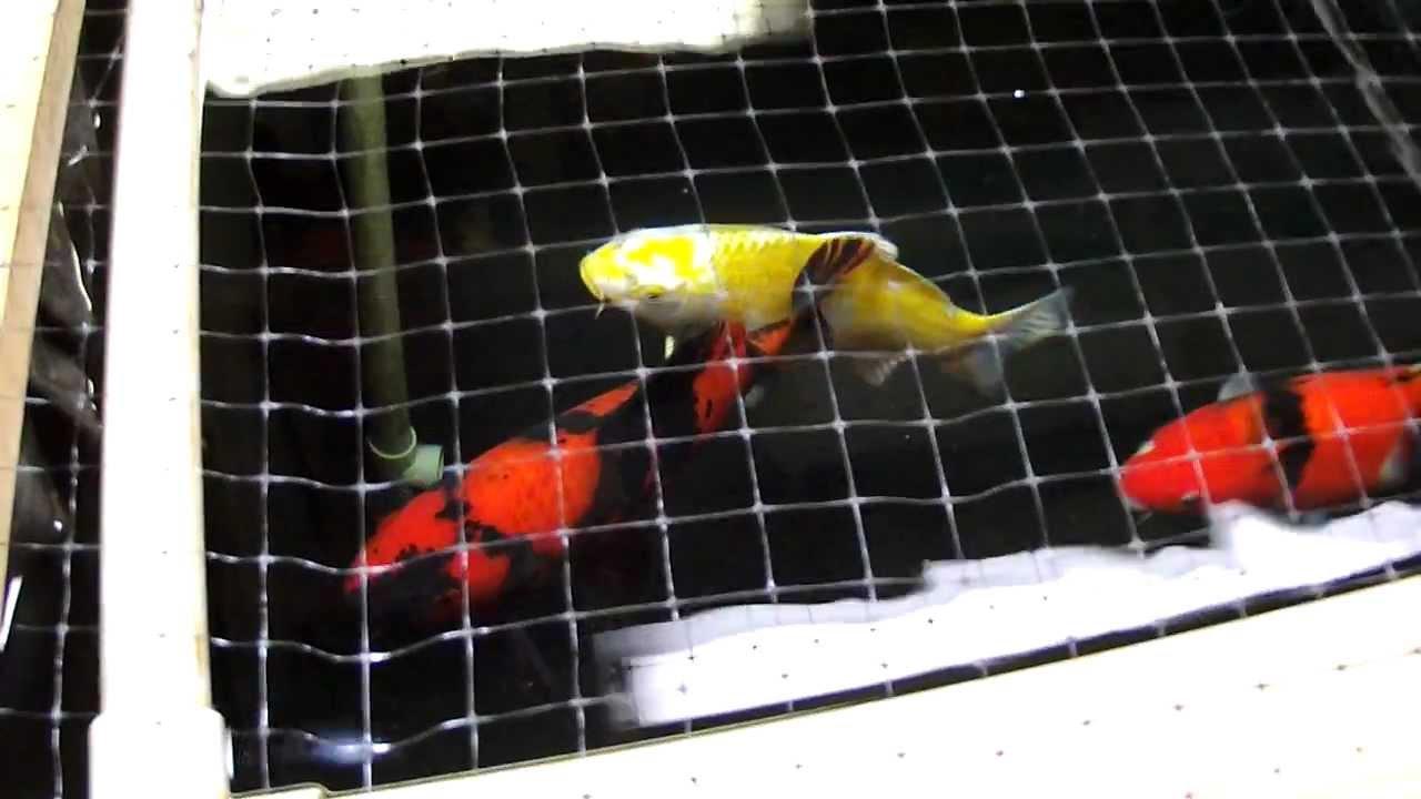 Diy indoor koi tank jan 2012 youtube for Indoor koi fish tank