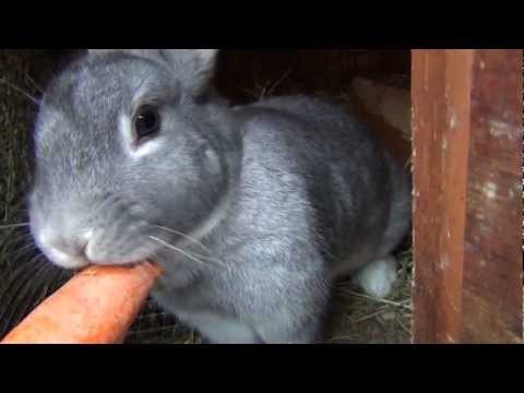 Bunny Carrot Song Bunny Rabbit Eats Carrot