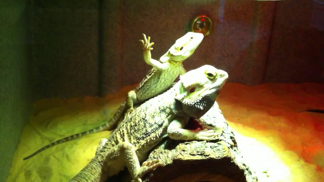 Bearded Dragons Mating W Ritual