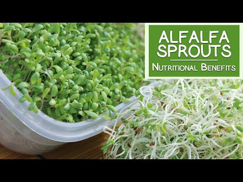Alfalfa Sprouts, Best Quality to Consume for Highest Health Benefits