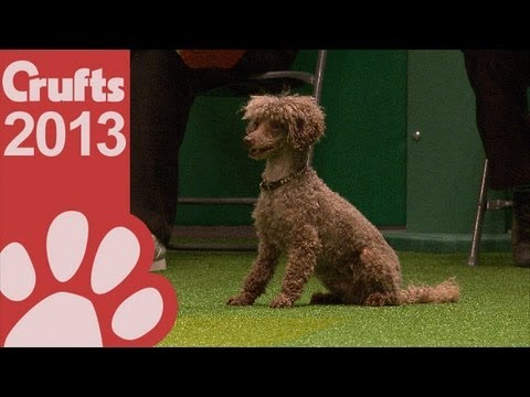 Agility - Jumping - Small Dogs Winner Crufts 2013, Watch toy poodle, Vanitonia Mister Big's winning run in the Agility - Small Dogs - Jumping - Kennel Club British Open event. Give this video the thumbs up if...
