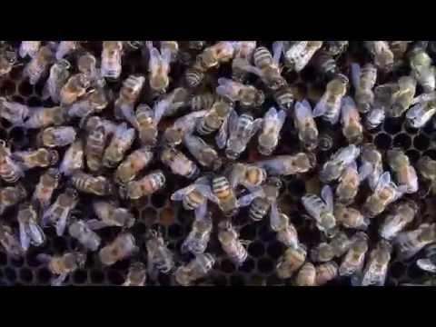 Happy bee dance. Why do honey bees dance on honeycomb?