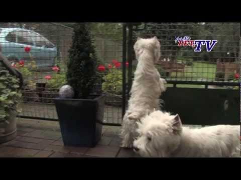Video zu West Highland White Terrier