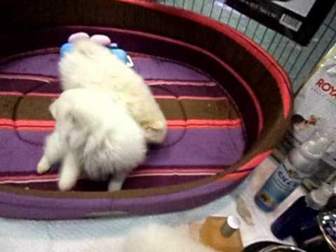 Σπιτς Κουταβια - Spits Puppies